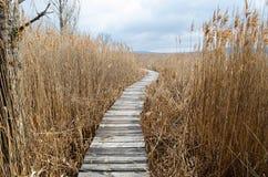 走道在干燥共同的芦苇床上在野生生物储备的沼泽 库存照片