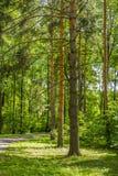 走道在杉木树丛里 免版税库存图片