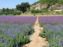 走道在淡紫色庭院里 图库摄影