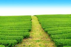 走道在茶农场 免版税图库摄影