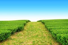 走道在茶农场 库存图片