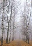 走道在薄雾秋天桦树公园 免版税库存照片