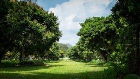 走道在绿色荔枝树农场 免版税图库摄影