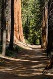 走道通过巨型美国加州红杉红木森林在优胜美地国家公园 免版税库存图片