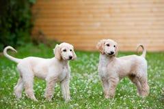 走阿富汗猎犬的小狗户外 图库摄影