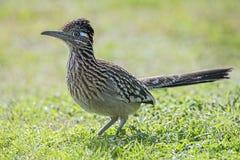 走鹃鸟在象草的领域,额嘴,羽毛,翼的狩猎食物, 免版税库存照片