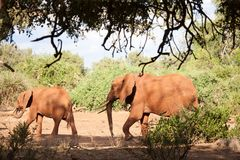 走,在风景的徒步旅行队的两头大象 图库摄影