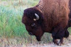走紧密与蹄的北美野牛被举 库存照片