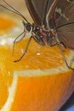 赴宴橙红的棕色蝴蝶 库存照片