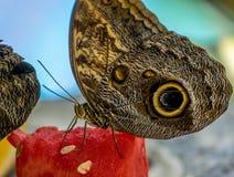 赴宴西瓜的热带蝴蝶 库存图片