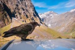 起亚,在路的新西兰` s当地鹦鹉向Milford Sound 免版税图库摄影