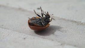 起动它的腿的两个小点瓢虫 影视素材