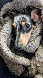 起斑纹在毯子包裹的达克斯猎犬小狗 免版税库存照片