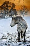 起斑纹灰色马在冬天日落 库存图片