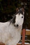 起斑纹灰色马画象在冬时的 库存照片