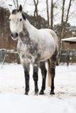 起斑纹灰色马 免版税库存图片