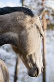 起斑纹灰色马 库存图片