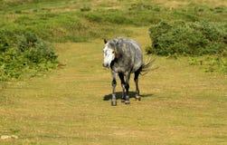 起斑纹的灰色小马 库存图片