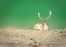 起斑纹的鹿 免版税库存照片
