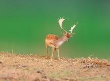 起斑纹的鹿 库存照片
