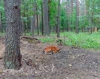 起斑纹的鹿 库存图片