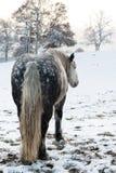 起斑纹马 免版税库存照片