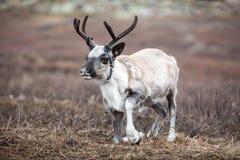 起来在北蒙古的逗人喜爱的小驯鹿 免版税图库摄影