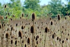起毛机种子荚的领域 库存图片