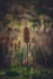 起毛机种子头在一个春日 库存照片