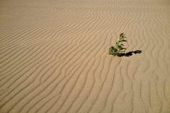 起波纹的沙子的植物 库存图片
