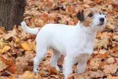 起重器罗素狗好奇小狗在秋天公园站立 免版税库存图片
