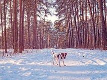 起重器罗素狗小狗在冬天杉木森林里走并且嬉戏地看道路 库存图片