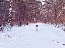 起重器罗素狗小狗在冬天杉木森林里走并且嬉戏地看道路 库存照片