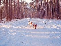 起重器罗素狗的小狗在冬天杉木森林里走并且嗅在足迹的一串足迹 库存照片