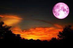 超级充分的桃红色月亮后面在日落天空的剪影树 免版税库存图片