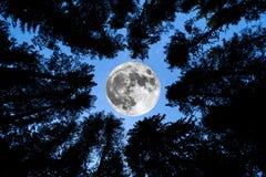 超级月亮杉树剪影 免版税库存图片