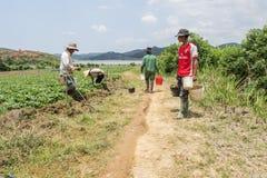 越南人收获在领域的草莓 免版税库存照片