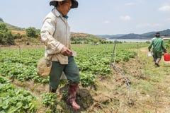 越南人收获在领域的草莓 库存照片