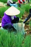 越南农夫收获越南葱农场 免版税库存照片
