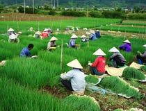 越南农夫收获越南葱农场 免版税库存图片