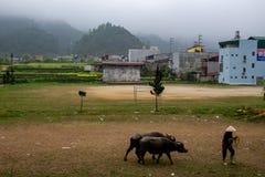 越南农夫走的母牛 免版税库存照片