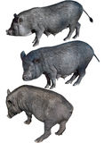 越南大肚子猪 免版税图库摄影