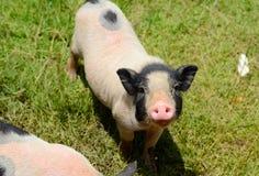 越南大腹便便的人小猪 免版税图库摄影