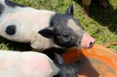 越南大腹便便的人小猪 免版税库存图片