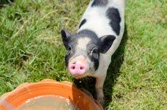 越南大腹便便的人小猪 库存照片