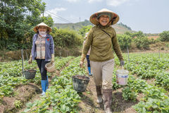 越南妇女收获在领域的草莓 免版税图库摄影