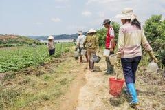 越南妇女收获在领域的草莓 免版税库存图片