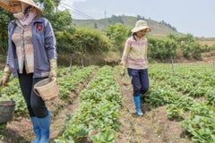 越南妇女收获在领域的草莓 库存图片