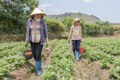 越南妇女收获在领域的草莓 免版税库存照片