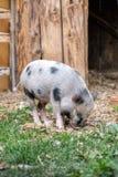 越南小狗猪 库存图片